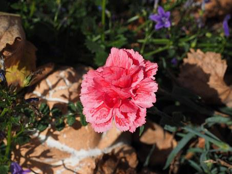 Carnation, Sweet William, Inflorescence, Dianthus, Pink