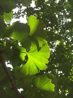 The Leaves, Plant, Ginkgo