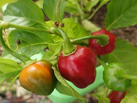 Chilli Pepper, Plant, Capsicum Chinense, Habanero