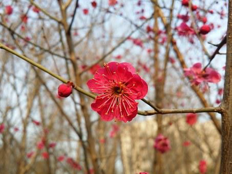 Plum, Plum Flower, Red Plum, Plum Apricot Blossom