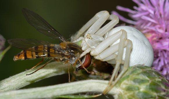 Spider, Misumena, Vatia, Prey, Brine Fly, Episyrphus