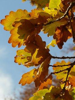 Oak Leaves, Oak, Quercus, Sessile Oak, Quercus Petraea