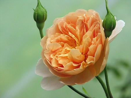 Rose, Tea Clipper, Flower, Apricot, Shrub, Garden