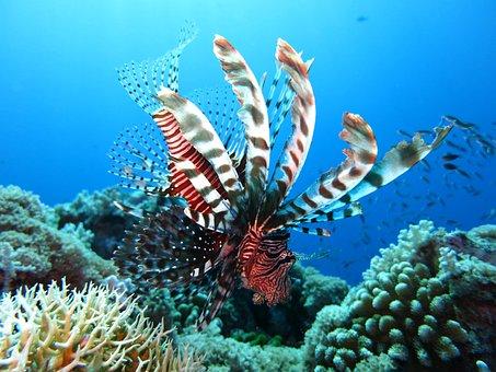 Lionfish, Scuba Diving, Underwater, Sea, Reef, Ocean