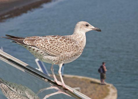 Seagull, Angler, North Sea, Will Eat And Be Eaten, Fish