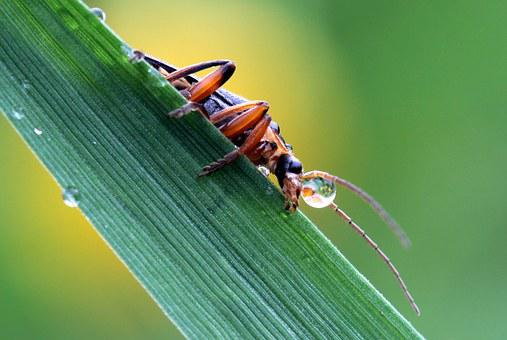 Soldier Beetle, Cantharidae, Side, Sitting On A Leaf