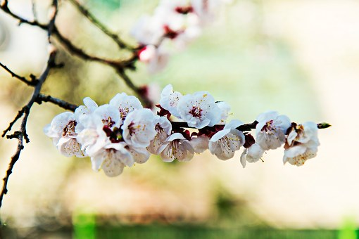 Apricot Blossom, Flowers, Flower, Spring Flowers, Wood