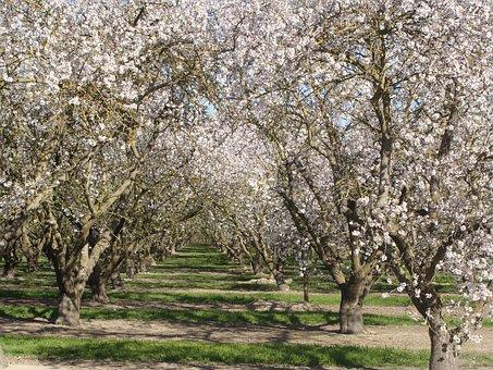 Apricot Trees, Orchard, Tree, Spring, Springtime