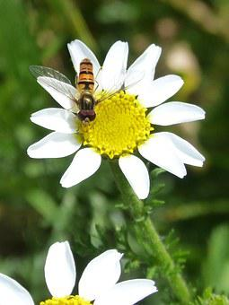 Episyrphus Balteatus, Hoverfly, Syrphidae, Insect