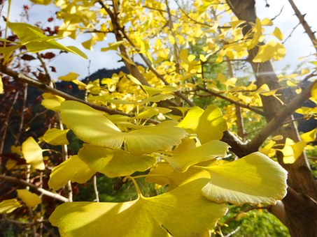 Ginkgo, Tree, Leaf, Leaves