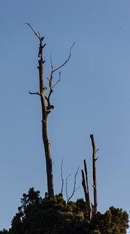 Dead, Trunk, Eucalyptus, Gum Tree, Trees, Silhouette