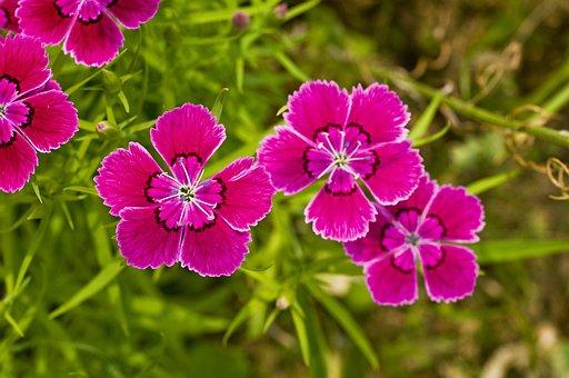 Dianthus Flower, Wildflower, Spring, Flowers, Plants