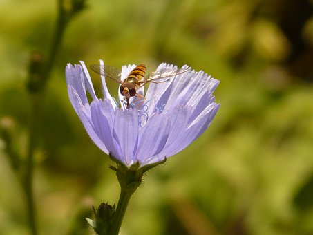 Winter Florea, Fly, Hoverfly, Common Chicory, Chicory