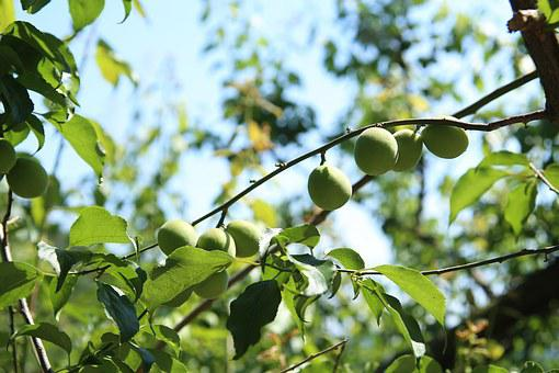 Plum, Blue Plum, Wood, Greenness, Dong, Ha Dong-plum