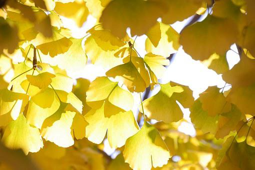 Nature, Ginkgo, Leaves, Republic Of Korea, Yellow