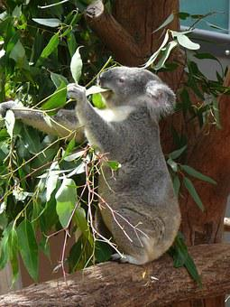 Koala, Australia, Zoo, Marsupial, Wildlife, Tree