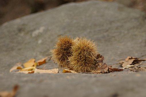 Autumn, Chestnut, Prickly, Leaves, Chestnut Leaves