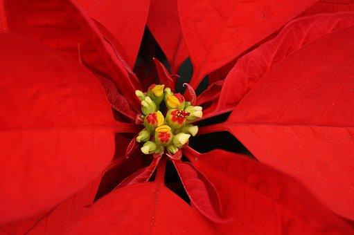 Good Night, Christmas, Flower, Christmas Flower, Plant