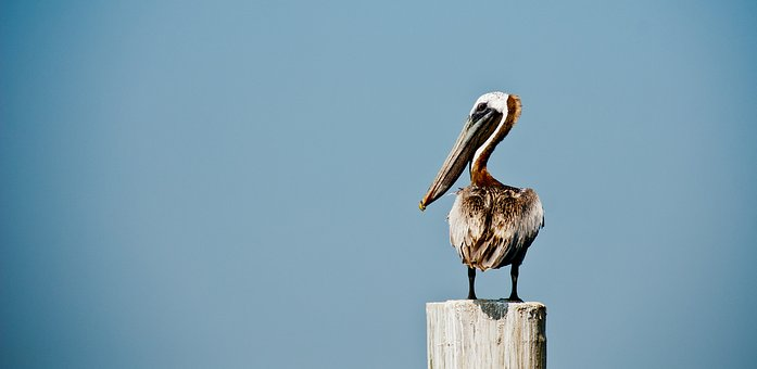 Pelican, Bird, Clean, Lonely, Coastal, Wildlife, Beak