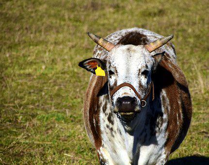 Zebu, Cow, Beef, Pasture, Graze, Simmental Cattle