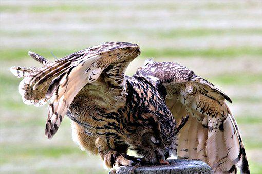 Eurasian Eagle Owl, Owl, Bird, Eurasian, Eagle, Animal
