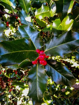 Holly, Plant, Berries, Green, Periwinkle