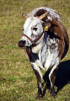 Zebu, Beef, Cow, Grazing Livestock, Simmental Cattle