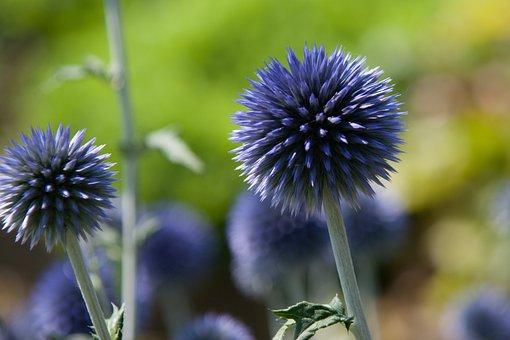 Thistle, Blue, Flower, Blossom, Bloom, Globe Thistle