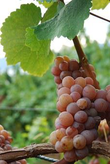 Gewurztraminer, Grape, Vine