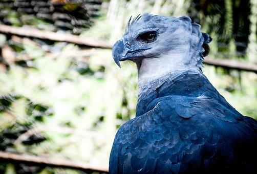 Harpy, Nature, Bird Prey, Ecology, Bird