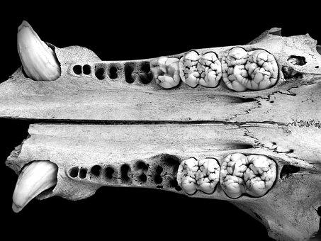 Jaw, Fangs, Teeth, Skull, Wild Pig, Bones