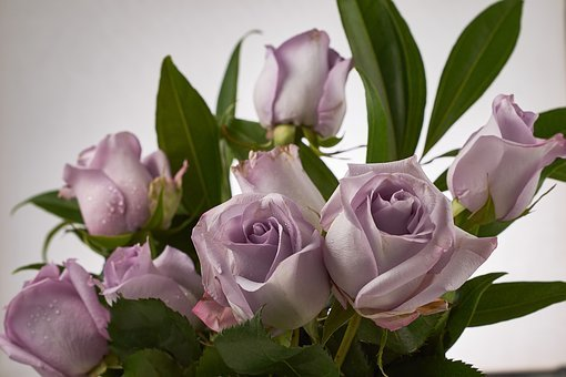 Rose, Sterling, Silver, Flower, Blossom, Purple