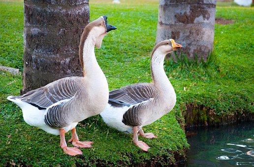 Goose, Birds, Waterfowl, Nature, Ecology