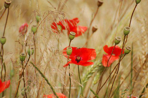 Flowers, Poppy, Plant, Nature, Red, Meadow, Fields