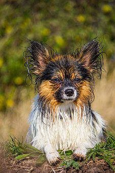 Papillon, Small Dog, Wet, Dog, Sweet, Pet, Cute, Nature