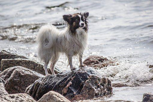 Sea, Dog, Stones, Papillon, Small Dog, Water, Pet, Surf