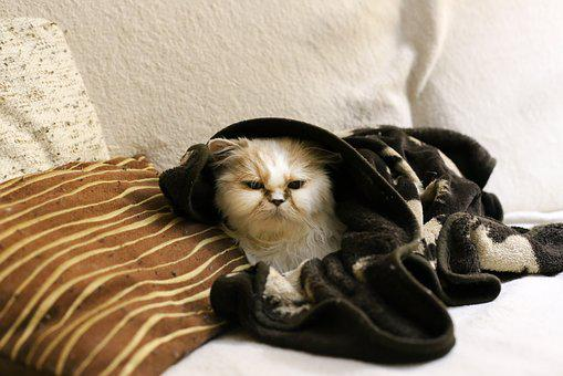 Cat, Pet, Persian, Cold, Snug, Winter, Heat, Blanket