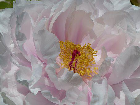 Peony Bloom, Flower, Nature, Pestile, Stamen, Plunger