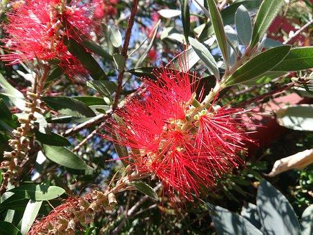 Callistemon, Bottle Brush Bush, Flower, Red Broom