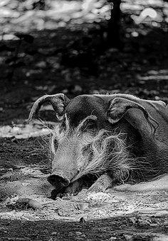 Wild Boar, Animals, Boar, Wild, Wildlife, Nature, Pig