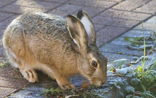 Rabbit, Brown Hare, Animal, The Hair, Vigilance