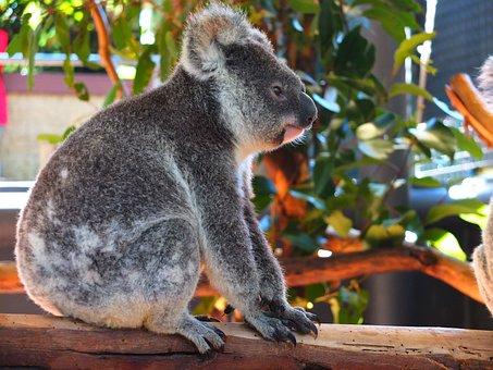 Koala, Pet, Australia, Zoo, Cute, Animal, Small, Baby