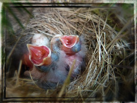 Bird, Nest, Chicks, Young, Animals, Nature