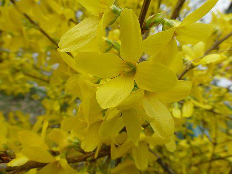 Flowers, Yellow, Close, Yellow Flower, Forsythia