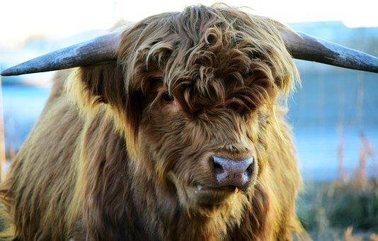 Highland Beef, Beef, Cow, Scottish Hochlandrind, Horns