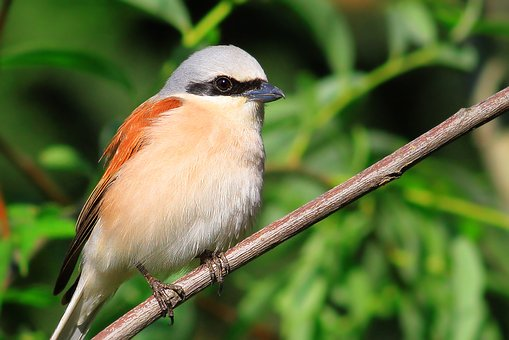 Lanius Collurio, Red-backed, Shrike, Red, Red Bird