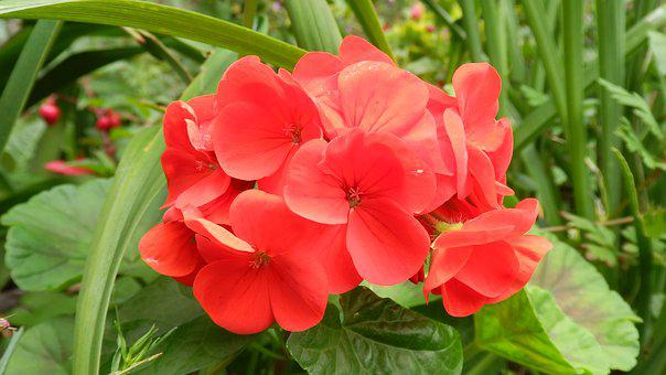 Geranium, Red Flower, Flowers, Fauna, Nature, Plant