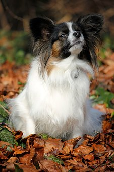 Papillon, Autumn, Leaves, Nose, Dog, Dog Breed