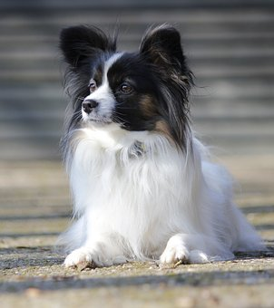 Papillon, Lying, Dog, Dog Breed