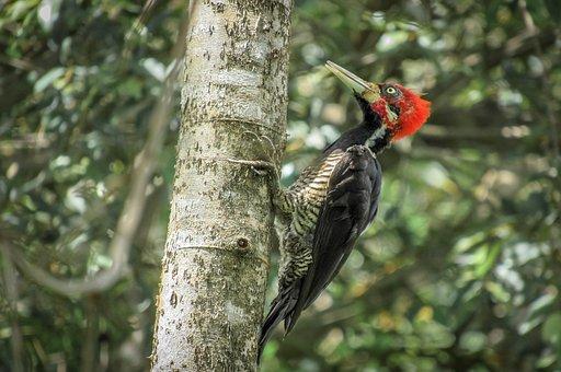 Bird, Woodpecker, Piciformes, Pica -pau Red Head